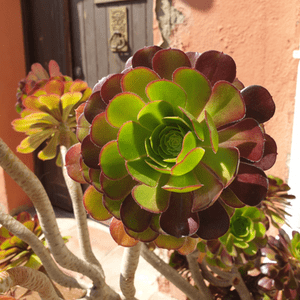 shutterstock 1696603807 9 Striking Succulents: A Growing Texas Trend IES Pools