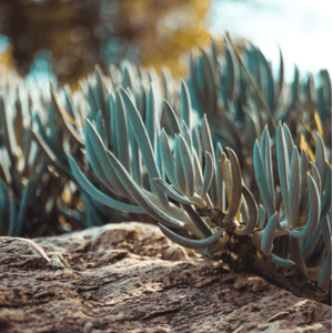 shutterstock 1704055585 9 Striking Succulents: A Growing Texas Trend IES Pools
