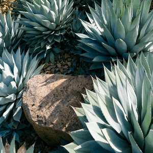 shutterstock 661000963 9 Striking Succulents: A Growing Texas Trend IES Pools